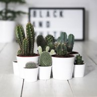 cactus39
